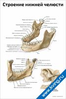 Строение нижней челюсти человека — медицинский плакат