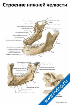Плакат строение нижней челюсти человека