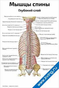 Плакат мышцы спины, глубокий слой