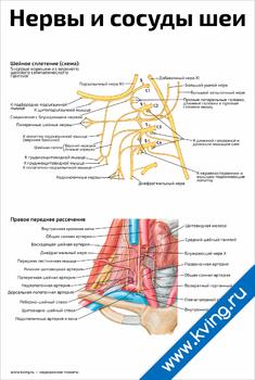 Плакат нервы и сосуды шеи