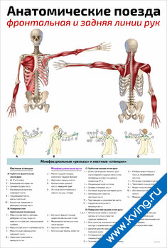 Плакат анатомические поезда: фронтальная и задняя линии рук