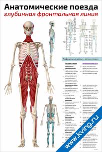 Плакат анатомические поезда: глубинная фронтальная линия