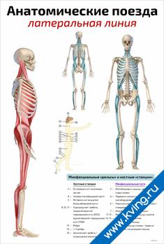 Плакат анатомические поезда: латеральная линия