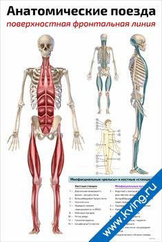 Плакат анатомические поезда: поверхностная фронтальная линия