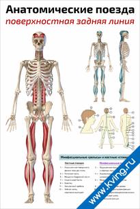 Плакат анатомические поезда: поверхностная задняя линия