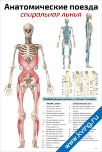Плакат анатомические поезда: спиральная линия