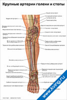 Крупные артерии голени и стопы — медицинский плакат