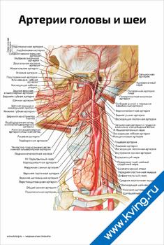 Плакат артерии головы и шеи