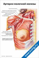 Артерии молочной железы — медицинский плакат