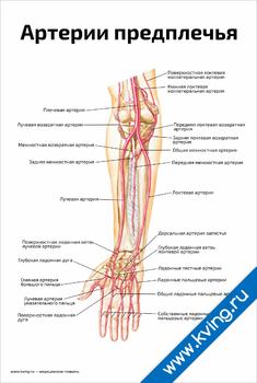 Плакат артерии предплечья