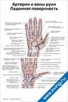 Артерии и вены руки, ладонная поверхность — медицинский плакат