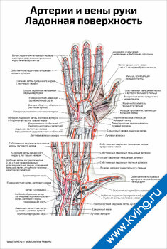 Плакат артерии и вены руки, ладонная поверхность