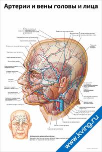 Плакат артерии и вены головы и лица