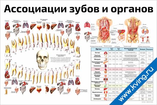Плакат ассоциации зубов и органов