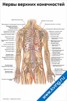 Плакат нервы верхних конечностей