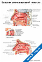 Боковая стенка носовой полости — медицинский плакат
