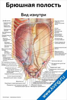 Плакат брюшная полость