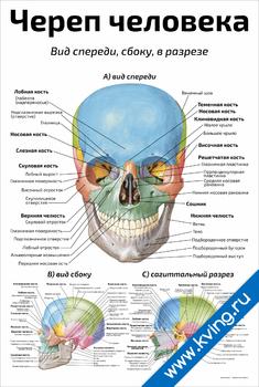 Плакат череп человека: вид спереди, сбоку, в разрезе
