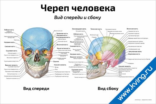 Плакат череп человека, вид спереди и сбоку