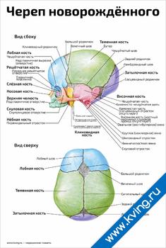 Плакат череп новорождённого