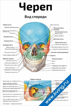 Плакат череп, вид спереди