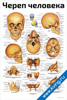 Плакат череп человека: подробно