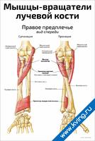 Мышцы-вращатели лучевой кости — медицинский плакат