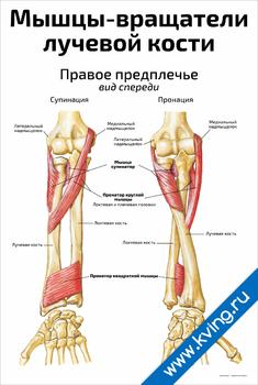 Плакат мышцы-вращатели лучевой кости