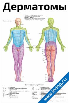 Плакат дерматомы