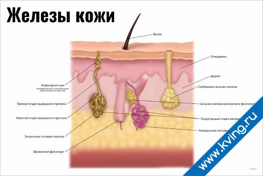 Плакат железы кожи