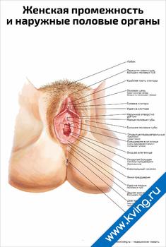 Плакат женская промежность и наружные половые органы