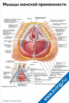 Плакат мышцы женской промежности