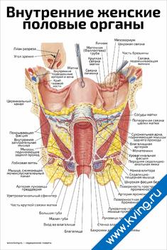 Плакат внутренние женские половые органы