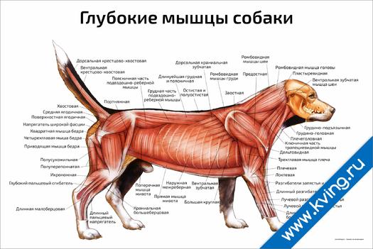 Плакат глубокие мышцы собаки