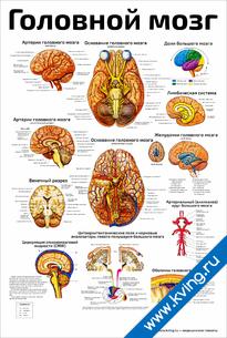 Плакат головной мозг: подробно