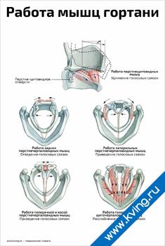 Плакат работа мышц гортани, голосообразование