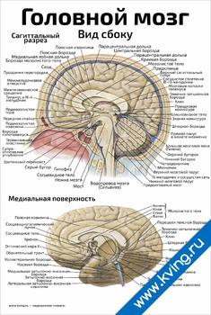Плакат головной мозг: вид сбоку
