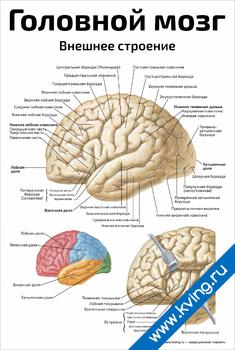 Плакат головной мозг, внешнее строение