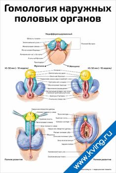 Плакат гомология наружных половых органов