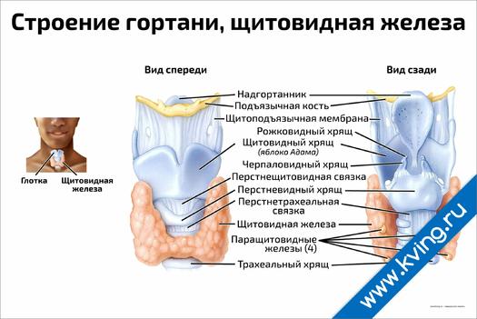 Плакат строение гортани, щитовидная железа