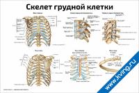 Скелет грудной клетки — медицинский плакат