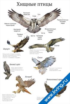 Плакат хищные птицы