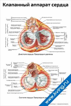Плакат клапанный аппарат сердца