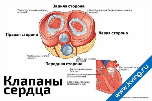 Плакат клапаны сердца в разрезе