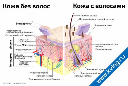 Плакат строение кожи и волоса