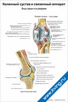 Коленный сустав и связочный аппарат, вид сзади и в разрезе — медицинский плакат