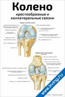 Колено: крестообразные и коллатеральные связки — медицинский плакат