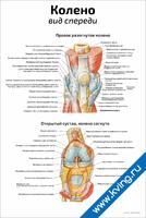 Колено: вид спереди — медицинский плакат