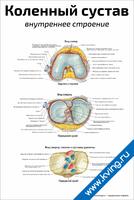 Коленный сустав: внутреннее строение — медицинский плакат