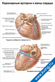 Плакат коронарные артерии и вены сердца